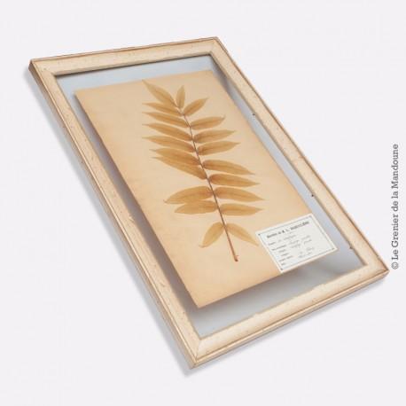 Planche d'herbier de M. L. BABOULÈNE. Famille des Saxifrages. Daté : Avril 1900